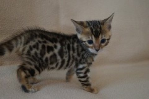 We have a litter of 5 beautiful Bengal kittens.,./.,.,//../