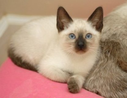 QUALITY Male And Female Siamese Kittens Ready for sale please co