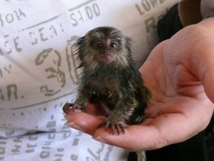 Good looking Little Marmoset Monkey for sale