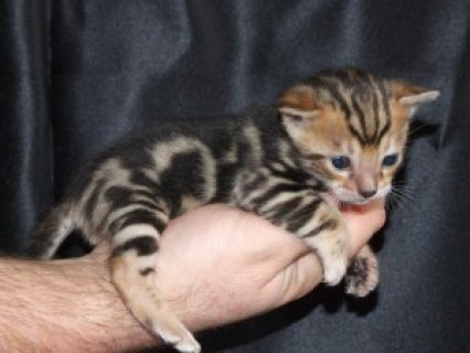 healthy male and female Bengal kittens ready for adoption