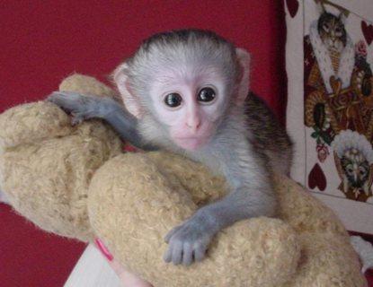 Amazing Capuchin Monkeys For Sale