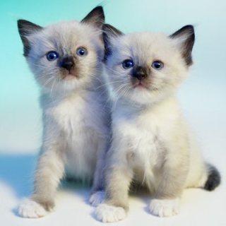 TICA Registered Ragdoll Kittens for sale