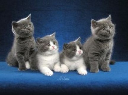 Registered British short hair kittens for sale