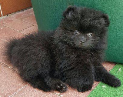 Blue Eyed Pomeranian Puppies Ready Now