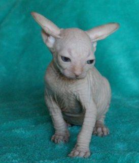 Adorable Sphynx Kittens For Sale