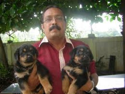 Excellent Beautiful Male And Female Rottweiler puppies for sale