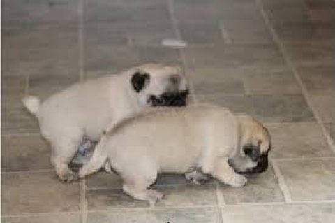 Nice and cute Pug Puppies available for sale.