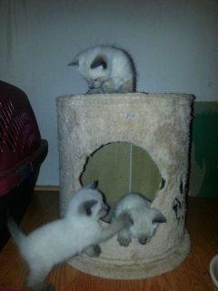 Beautiful Traditional Siamese Kittens