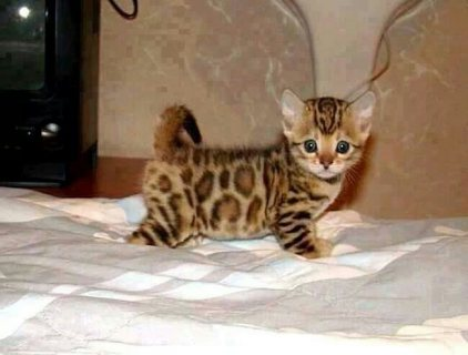 100% Purebreed Lovely Bengal Kittens Ready Now For Sale
