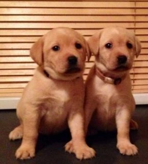 Labrador Retriever Pups ready now