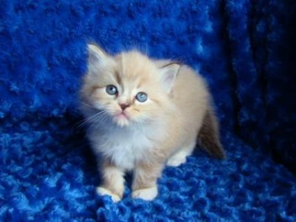 Cute Ragdoll kittens available ///1