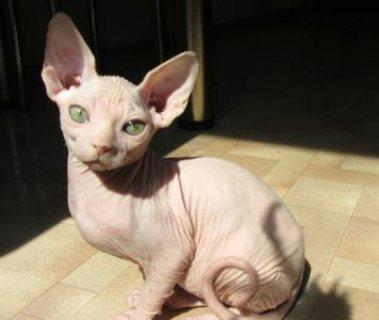 Lovely Purebred Sphynx Kittens available///