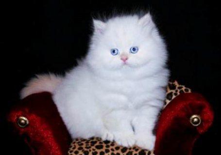 purebred Persian kittens///