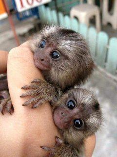 Hand Raised Pygmy Marmoset Monkey Offer