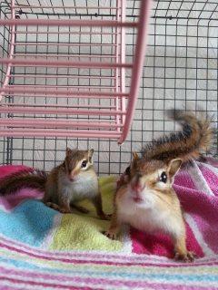 Baby Chipmunks. Priced As A Pair