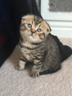 Home Raised Scottish fold Kittens  For Sale