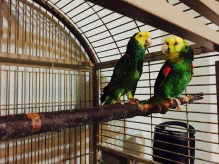 Proven Pair Of Double Yellow Head Amazon