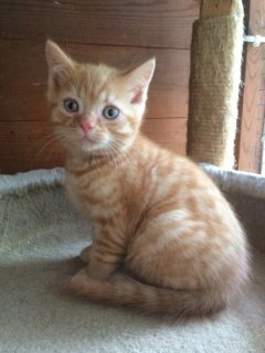 Home raised Scotish fold Kittens for Sale