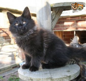 Beautiful Norwegian forest cat Available