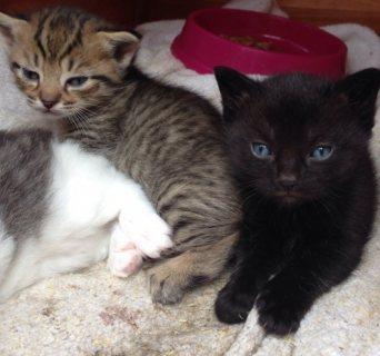 Munchkin Kittens Registered Avialable
