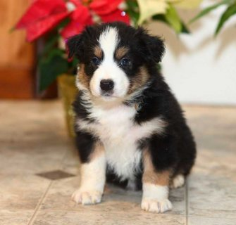 Australian Shepherd Available