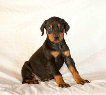 Beautiful A KC registered Doberman Pinschers puppies