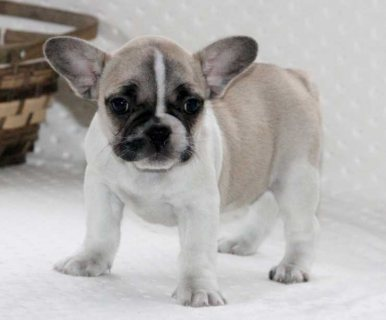 Excellent French Bulldogs