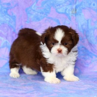 Very Playful Shih Tzu Puppies for Re-homing