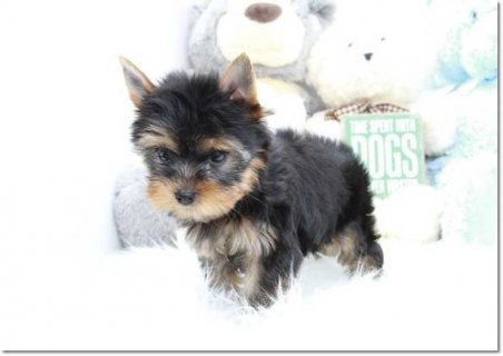 Extremely Cute Yorkshire Terrier Puppies Available