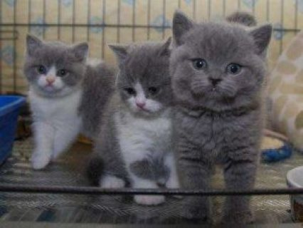 Beautiful male and female British short hair kittens for sale...