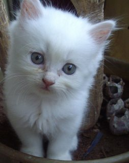 2  Male and Female Persian Kittens For Rehoming