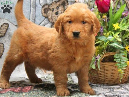 Sweet Charming Golden Retriever Puppies For Sale