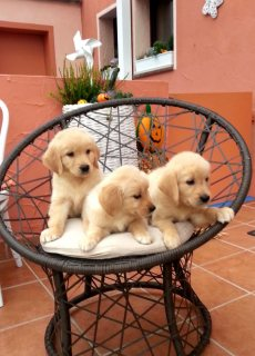 Cute and Adorable Golden Retriever Puppies for Sale