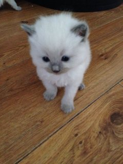 Beautiful Ragdol kittens for a good home