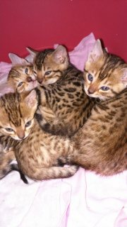Ready Now Stunning Pedigree Bengal Kittens