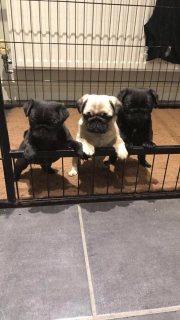Kc Registered 100% Pug Pups For Sale