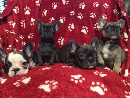 French Bulldog Pups Ready Now