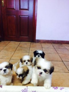for new homes shih tzu for sale
