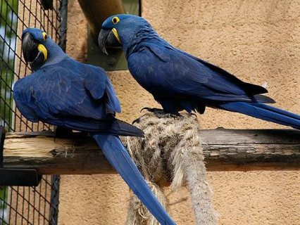 Beautiful Hyacinth macaws and parrots for sale