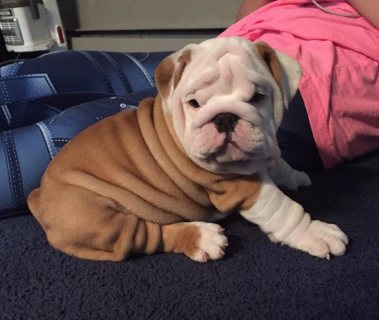 Good Looking Exceptional Bulldog puppy