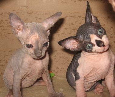 Adorable Quality  Sphynx Kittens Available