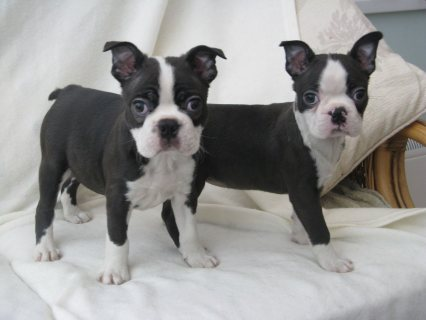 Beautiful Kc Reg Boston Puppies For Sale