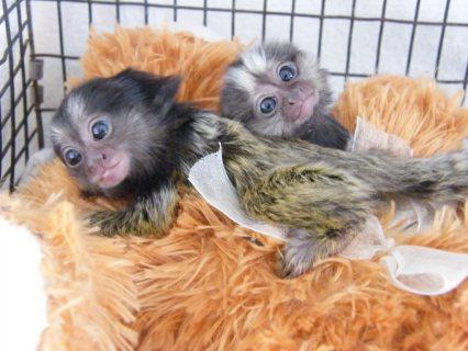 Gorgeous Marmoset Monkeys For Sale