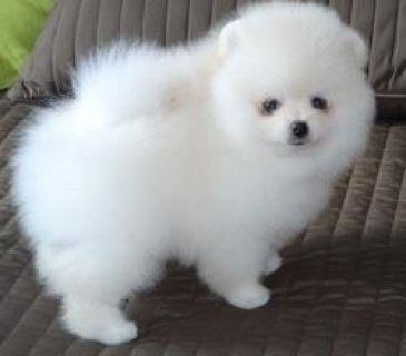 Pomeranian Cute puppies For Sale