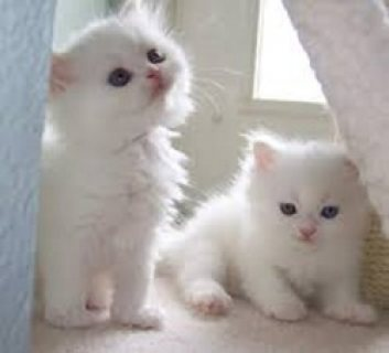 Cute Persian Kittens Available For Sale.