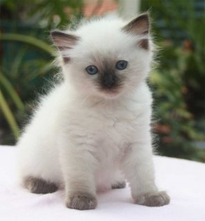 Hand Raised Ragdoll Kittens available