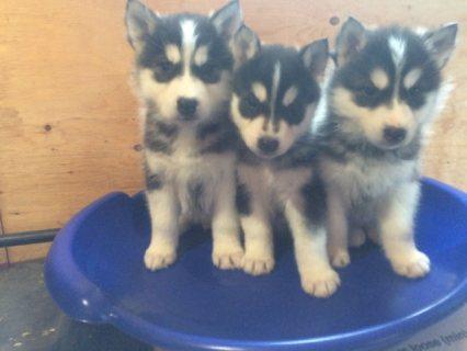 Vet Checked Blue Eye Siberian Husky Puppies READY!!