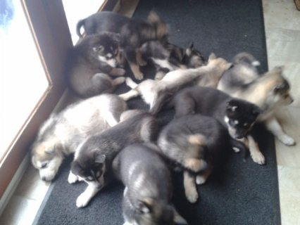 Six Stunning Akc Reg Siberian Husky Puppies Ready  For Adoption