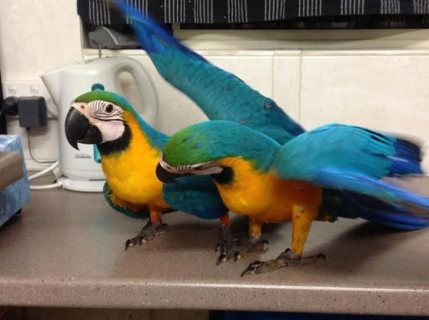 صور Vaccinated DNA Tested Macaw Parrots All Ready Now!!! 1