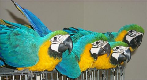 Blue Gold Macaw Parrots Now Available